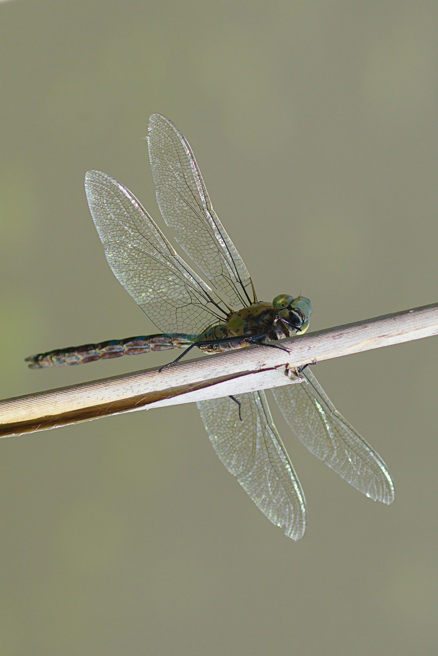 dragonfly, parthenope, wings